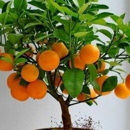 Комнатные растения - Семена карликового мандаринового дерева, 0