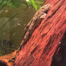 Аквариумные рыбки - Ринелорикария Парва Малая (Rineloricaria parva)…, 0