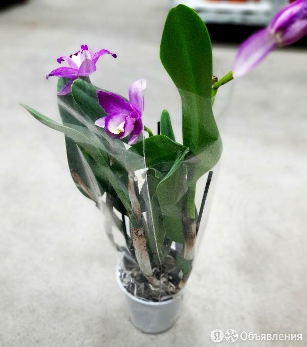 Каттлея сиренево-розовая по цене 4800₽ - Комнатные растения, фото 0