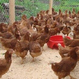 Сельскохозяйственные животные и птицы - Куры на яйцо, 0