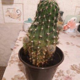 Комнатные растения - продаю цветок кактус, 0
