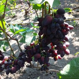 Рассада, саженцы, кустарники, деревья - Сорт винограда кармакод, 0
