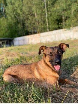 Собаки - Метис бельгийской овчарки , 0