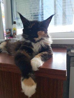 Кошки - Мейн-кун котенок, 0