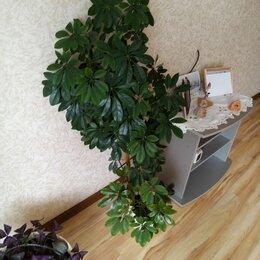 Комнатные растения - Шеффлера древовидная, 0