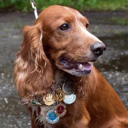 Собаки - Щенки английского кокер спаниеля 1 месяц рыжий, 0