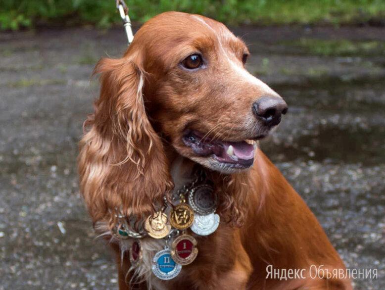 Щенки английского кокер спаниеля 1 месяц рыжий по цене 5555₽ - Собаки, фото 0