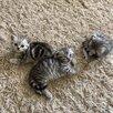 Кошки по цене 2000₽ - Кошки, фото 7