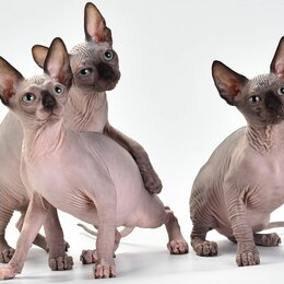 Кошки - Канадский сфинкс, 0