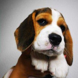 Собаки - Щенки Бигль с родословной, документы РКФ, 0