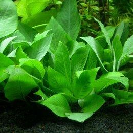 """Растения для аквариумов и террариумов - Гигрофила коримбоза """"Компакт"""", 0"""