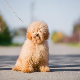 Собаки - Мальчик той пудель, 0