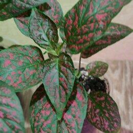 Комнатные растения - Гипоэстес красный мрамор, 0