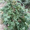 Ежевика Агавам по цене 1100₽ - Рассада, саженцы, кустарники, деревья, фото 0