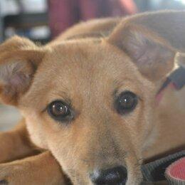 Собаки - Рыжая девочка щенок, 0