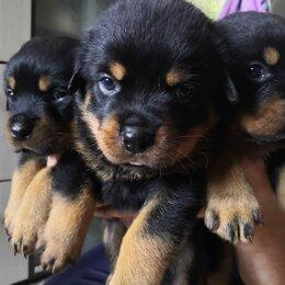 Собаки - Продажа щенков ротвейлера , 0