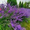 Саженцы лаванды. Зимостойкий сорт. по цене 250₽ - Рассада, саженцы, кустарники, деревья, фото 0
