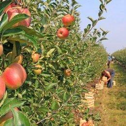 Сельское хозяйство -  Продаётся Яблоневый Сад в Крыму. 213 га, 0