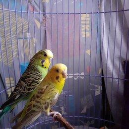 Птицы - Волнистые попугаи, парочка, 0