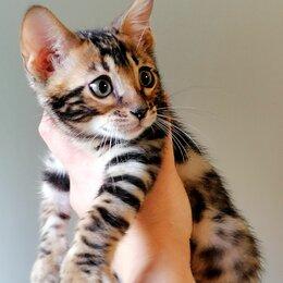 Кошки - Бенгальские котята., 0