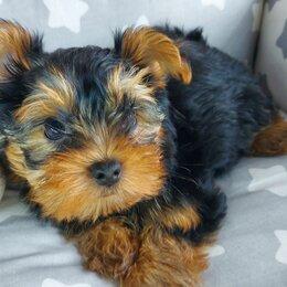 Собаки - Йоркширский терьер щенок 2 месяца мальчик, 0