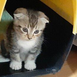 Кошки - Шотландский мальчуган 4мес., 0