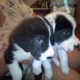Собаки - отдадим щенков в добрые надежные руки,щенкам 1,5 месяца , 0