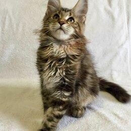 Кошки - Котенок мейн-кун с документами девочка, 0