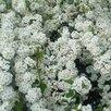 Спирея ниппоника по цене 200₽ - Рассада, саженцы, кустарники, деревья, фото 1