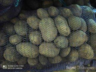 Картофель оптом. Урожай 2021. Беларусь по цене 15₽ - Продукты, фото 0