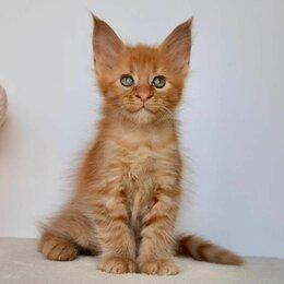 Кошки - Мейн-кун котята., 0