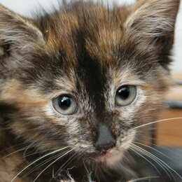 Кошки - Котёнок Фудзи, оставшийся без мамы, 0