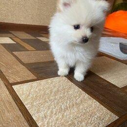 Собаки - Померанский шпиц беленький, 0