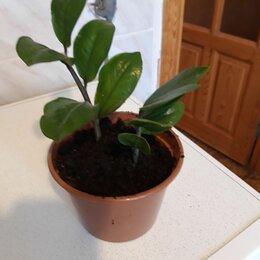 Комнатные растения - Продаю молодое растение замиокулькаса, 0