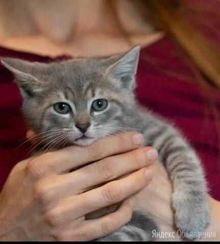 Малыш Штейн, подкидыш от домашней кошки, в добрые руки по цене даром - Кошки, фото 0