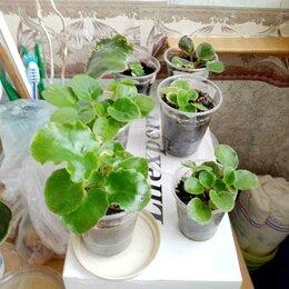 Комнатные растения - Фиалки Сортовые , 0