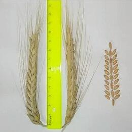 Семена - Продам семена озимой тритикале - сорт ГОРКА, 0