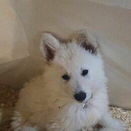 Собаки - Щенки белая швейцарская овчарка (БШО), 0