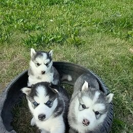 Собаки - щенки хаски,, 0