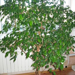 Комнатные растения - Огромный Фикус Бенджамина, 0