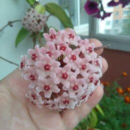 Комнатные растения - Хойя карноза кримсенквин, 0