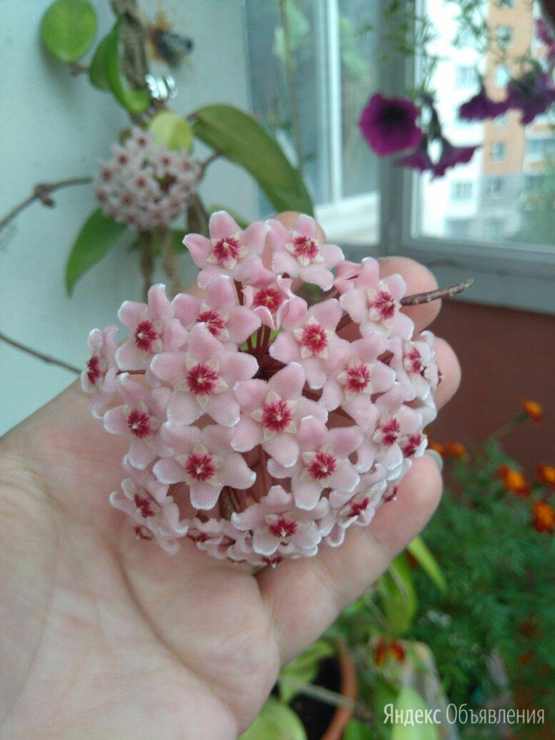 Хойя карноза кримсенквин по цене 100₽ - Комнатные растения, фото 0