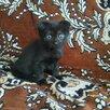 Котик и кошечки черные по цене даром - Кошки, фото 0