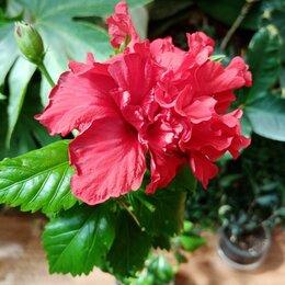 Комнатные растения - Гибискус Гвоздиковидный, 0