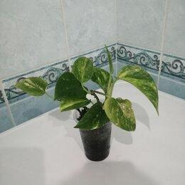 Комнатные растения - Сциндапсус, 0
