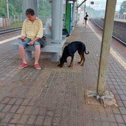 Животные - Найдена собака Доберман!, 0