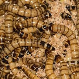Корма  - Кормовые насекомые. Корм для рептилий, ящериц., 0