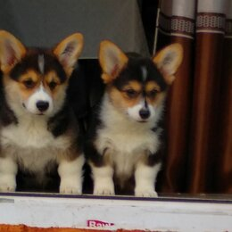 Собаки - Щенки Вельш корги пемброк, 0
