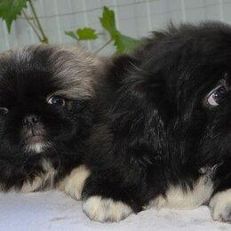 Собаки - Щенки пекинеса , 0