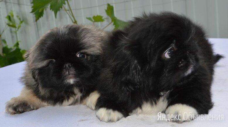 Щенки пекинеса  по цене не указана - Собаки, фото 0